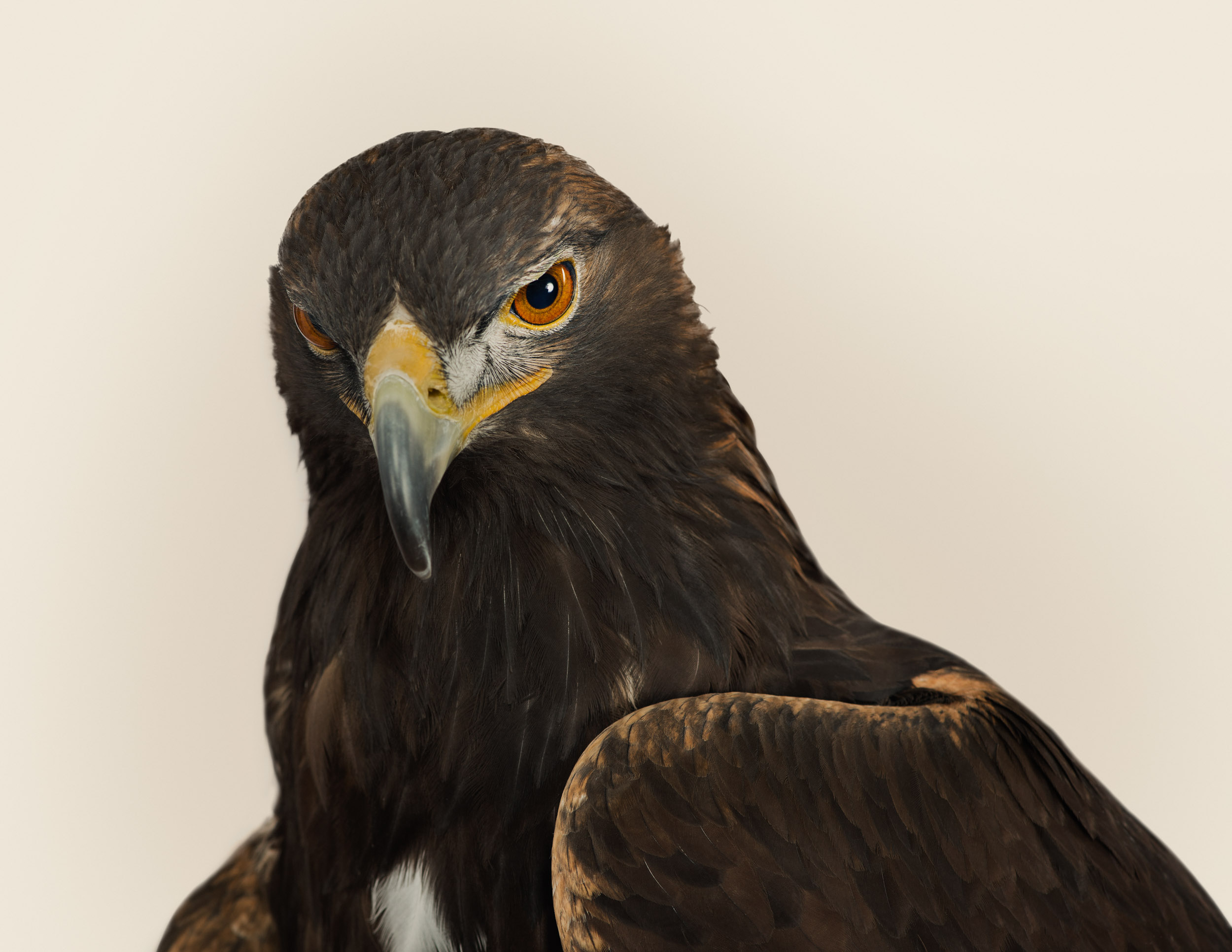 Aquila chrysaetos (golden eagle)