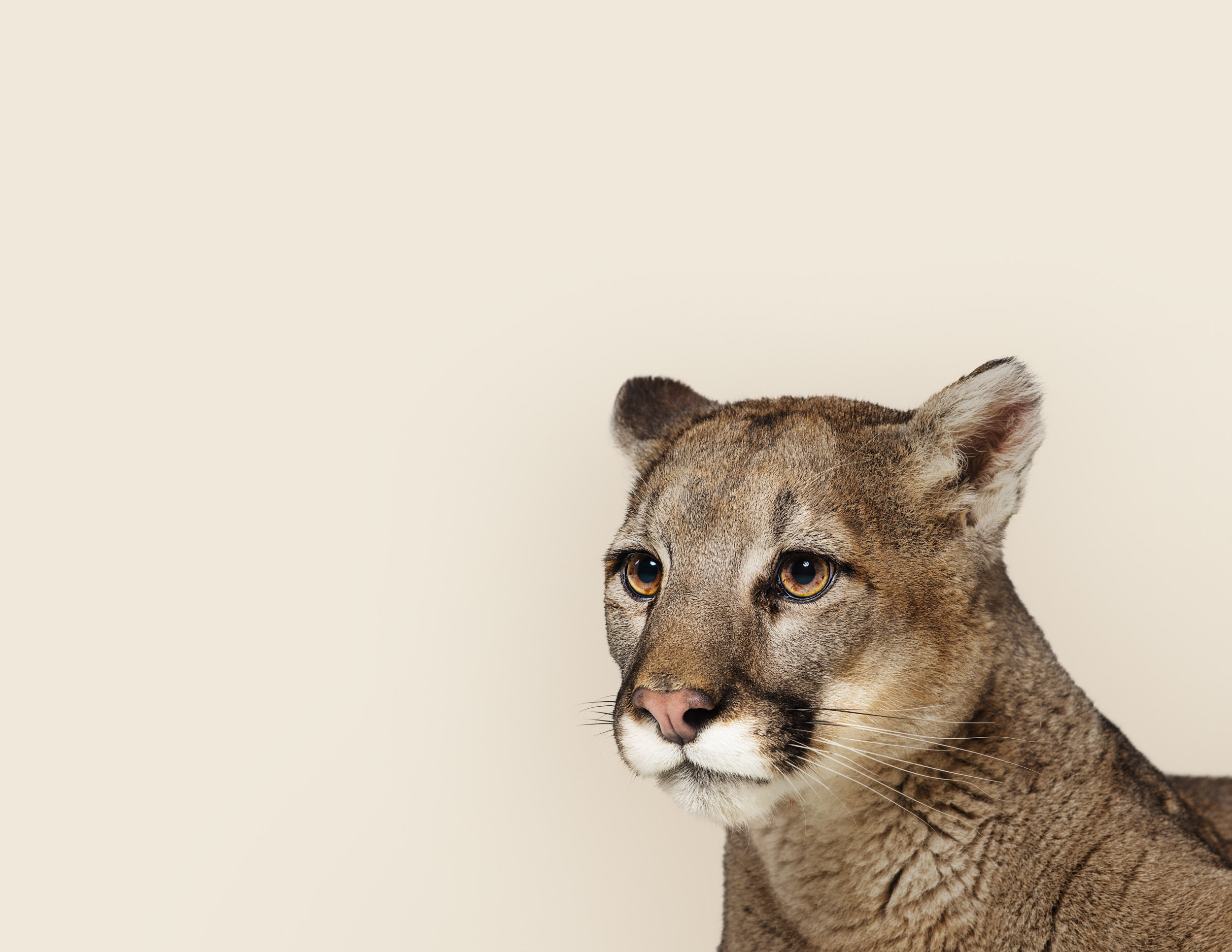 Puma concolor (mountain lion)