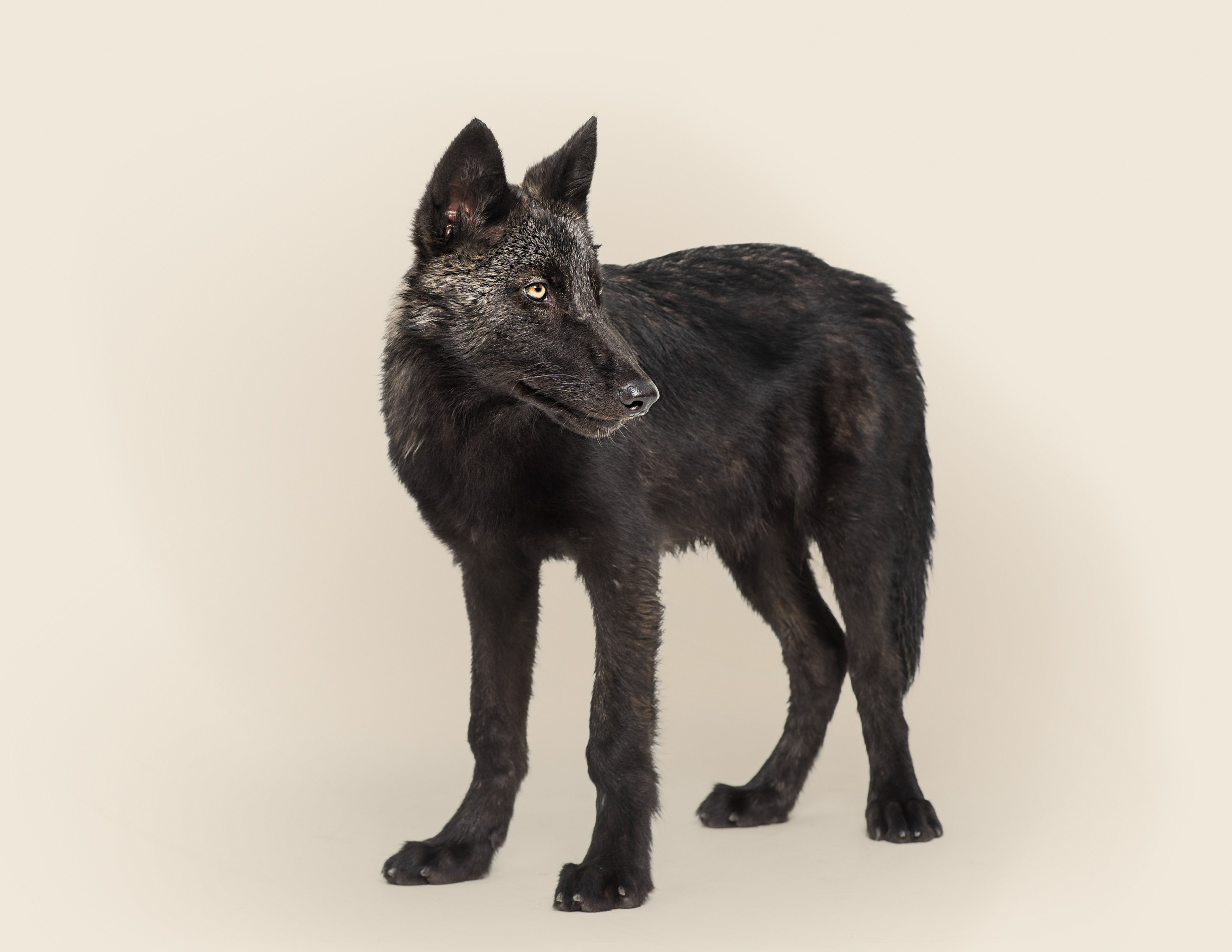 Canis lupus No 3  (grey wolf)